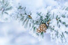 在下雨雪以后的杉木锥体 免版税库存照片