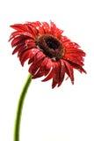 在下雨以后的红色大丁草花 库存图片