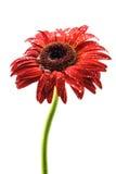 在下雨以后的红色大丁草花 免版税库存照片