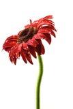 在下雨以后的红色大丁草花 免版税图库摄影
