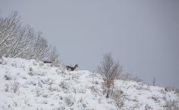 在下雪的山的马鹿 免版税库存照片