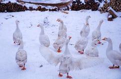 在下雪的鹅群 库存图片