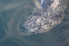在不列颠哥伦比亚省的斑海豹 免版税库存照片