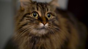在不同的方向看平纹家猫的逗人喜爱的枪口 股票录像