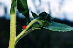 在不尽的绿叶的红色土蜂 免版税库存照片