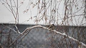 在不生叶的桦树的麻雀慌张 影视素材