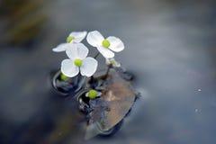 在不透明的蓝色湖的白色水生植物花 免版税图库摄影