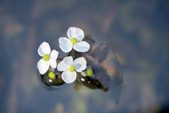 在不透明的蓝色湖的白色水生植物花 库存照片
