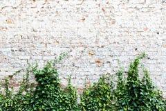 在与共同的常春藤或英国常春藤,常春藤属螺旋的白色绘的老和被风化的脏的砖墙 库存图片