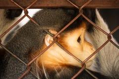 在与哀伤的眼睛的笼子限制的动物 库存照片