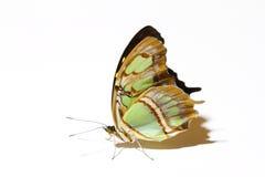 在与它的白色隔绝的常设绿沸铜蝴蝶是美丽的翼  库存照片