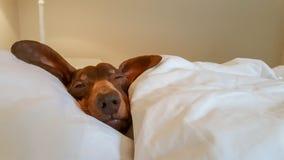 在与开放一只的眼睛的人的床上偎依的达克斯猎犬 免版税库存图片