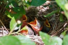 在与开放额嘴的巢的新出生的赤裸小鸡 库存图片
