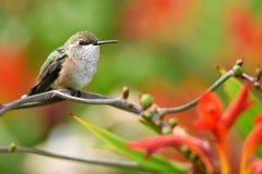 在与拷贝空间的一个分支栖息的一只母红褐色蜂鸟的特写镜头 免版税库存图片