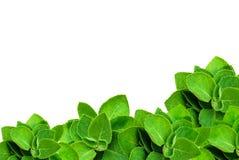 在与拷贝空间的白色背景隔绝的绿色叶子薄菏文本的 免版税库存照片