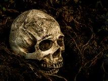 在与树的根的土壤埋没的人的头骨旁边在边的 图库摄影