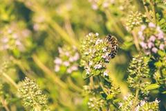在与桃红色绽放的麝香草栖息的一只蜂 免版税库存图片
