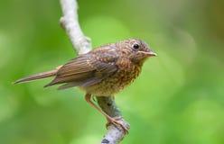 在与甜光的一个分支栖息的幼小欧洲知更鸟 图库摄影