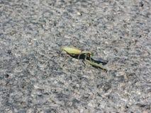 在与石头和小树枝的土壤掩没的螳螂 免版税库存照片