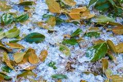 在与绿色木兰叶子混合的地面上的冰雹它敲了树 免版税库存图片