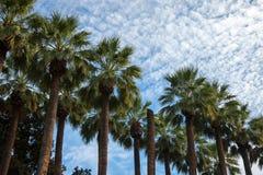 在与蓝天和一些朵云彩的一个晴朗的下午期间被采取的高棕榈树在背景中 库存照片