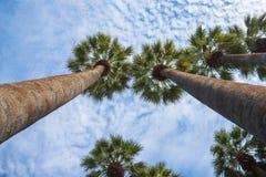 在与蓝天和一些朵云彩的一个晴朗的下午期间被采取的高棕榈树在背景中 免版税库存照片