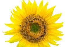 在与裁减路线的白色背景隔绝的向日葵由Ma 免版税库存照片