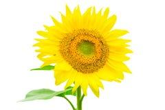 在与裁减路线的白色背景隔绝的向日葵由Mac 免版税库存照片