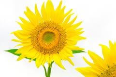 在与裁减路线的白色背景隔绝的向日葵由Mac 免版税库存图片