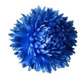 在与裁减路线的白色背景隔绝的明亮的蓝色翠菊花 特写镜头没有阴影 库存图片