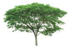 在与裁减路线的白色背景隔绝的树 库存照片
