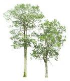 在与裁减路线的白色背景隔绝的树 免版税库存图片
