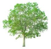 在与裁减路线的白色背景隔绝的树 免版税图库摄影