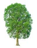 在与裁减路线的白色背景隔绝的树 库存图片