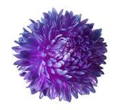 在与裁减路线的白色背景隔绝的紫色翠菊花 特写镜头没有阴影 库存照片