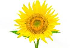 在与裁减路线的白色背景隔绝的向日葵由Mac 库存照片