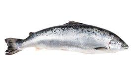 在与裁减路线的白色隔绝的大西洋三文鱼 免版税库存图片