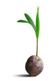 在与裁减路线的白色隔绝的椰子树新芽 免版税库存图片