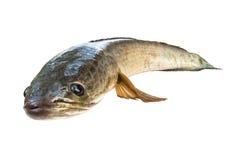 在与裁减路线的白色隔绝的镶边snakehead鱼 库存照片