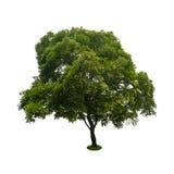 在与裁减路线的白色隔绝的绿色树 库存图片