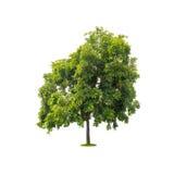 在与裁减路线的白色隔绝的绿色树 免版税库存图片