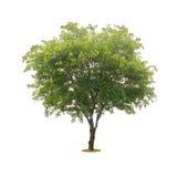在与裁减路线的白色隔绝的绿色树 免版税图库摄影