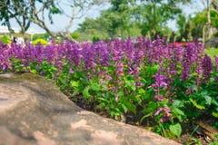 在与选择聚焦和模糊的背景的夏天期间淡紫色开花开花在领域 免版税图库摄影