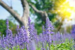 在与选择聚焦的夏天期间淡紫色开花开花在领域 库存图片