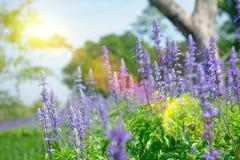 在与选择聚焦的夏天期间淡紫色开花开花在领域 免版税库存照片