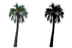 在与阿尔法面具的白色背景隔绝的高棕榈树 免版税库存图片