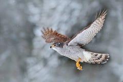 在与雪的冬天期间与飞鸟的冬天在森林鸷在云杉的树的北苍鹰着陆 野生生物scen 免版税库存图片