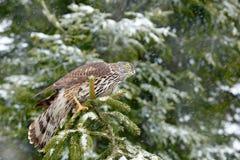 在与雪的冬天期间在冬天森林北苍鹰着陆的苍鹰在云杉的树 从冬天自然的野生生物场面 双翼飞机 免版税库存图片