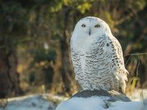 在与雪的日志栖息的斯诺伊猫头鹰 库存照片