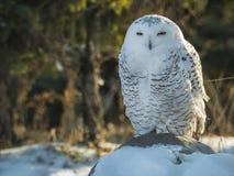 在与雪的日志栖息的斯诺伊猫头鹰 图库摄影